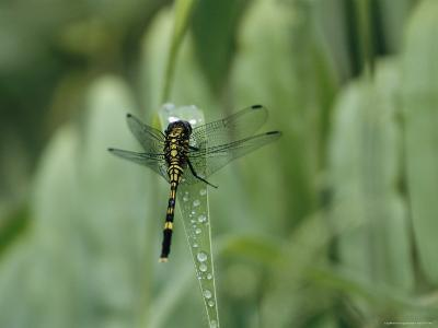 Dragonfly Sitting on a Blade of Grass with Dew Droplets--Photographic Print