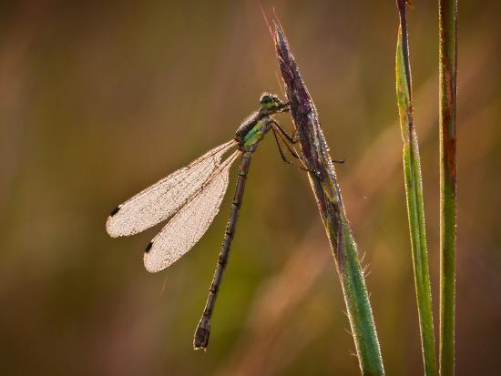 Dragonfly-Gordon Semmens-Photographic Print