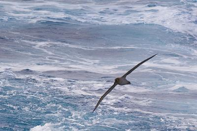 Drake Passage, Southern Ocean. Flying Light-Mantled Albatross-Janet Muir-Photographic Print