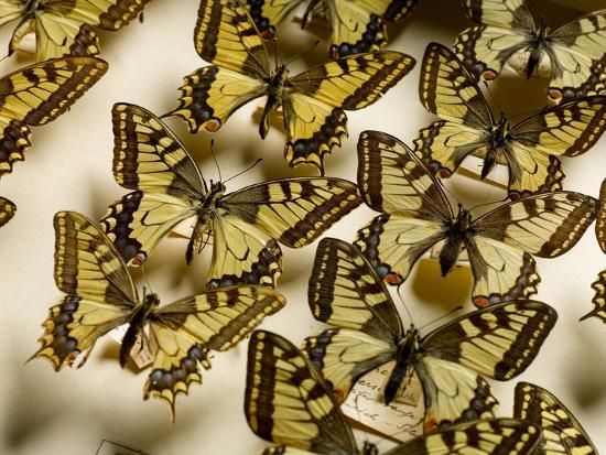 Drawer of Swallowtail Butterflies--Photographic Print