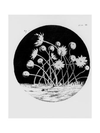 https://imgc.artprintimages.com/img/print/drawing-of-mould-from-hooke-s-micrographia_u-l-pk03kj0.jpg?p=0