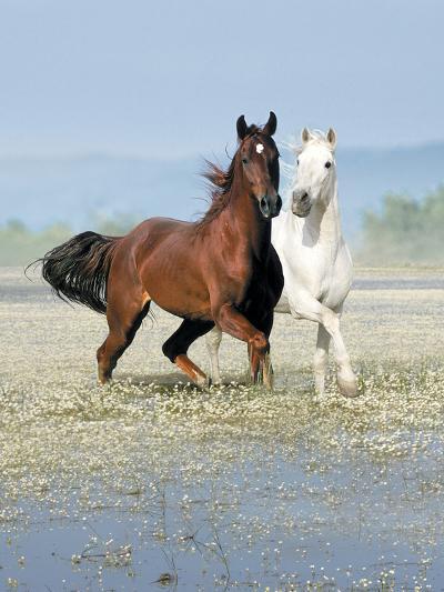 Dream Horses 067-Bob Langrish-Photographic Print