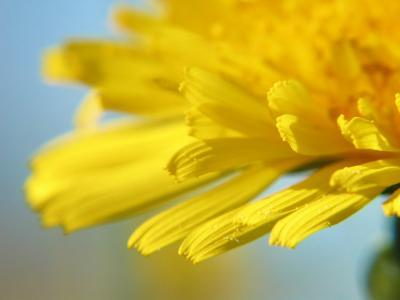 Dreamy Dandelion Detail, Fresh and Colorful--Photographic Print