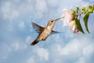 Dreamy Image Of A Hummingbird Feeding On A Pale Pink Hibiscus Flower-Sari ONeal-Photographic Print