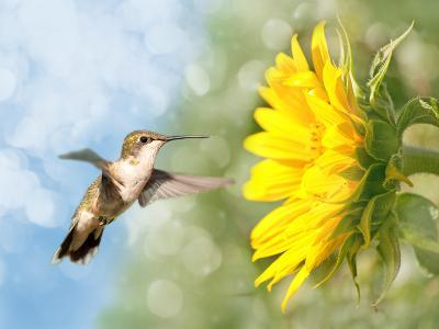 Dreamy Image Of A Hummingbird Next To A Sunflower-Sari ONeal-Photographic Print