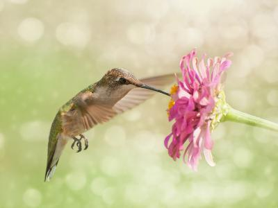 Dreamy Image Of A Ruby-Throated Hummingbird Feeding On A Pink Zinnia Flower-Sari ONeal-Photographic Print