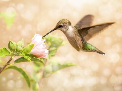 Dreamy Image Of A Young Male Hummingbird Feeding On A Light Pink Althea Flower-Sari ONeal-Photographic Print