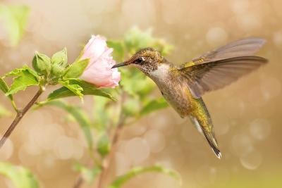 Dreamy Image Of A Young Male Hummingbird Hovering-Sari ONeal-Photographic Print