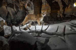 A Remote Camera Captures a Prowling Cougar in Yellowstone National Park by Drew Rush