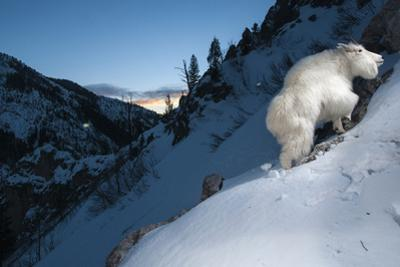 Mountain Goats are an Invasive Species in the Greater Yellowstone Ecosystem