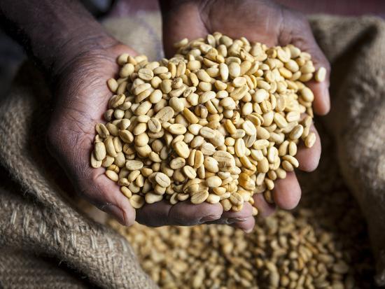 Dried Coffee Beans, Marley Coffee Plantation, Blue Mountains, Portland Parish, Jamaica, Caribbean-Doug Pearson-Photographic Print