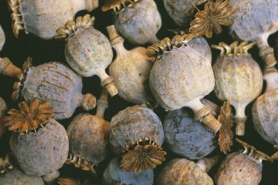 Dried Opium Poppies-Alan Sirulnikoff-Photographic Print
