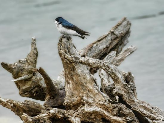 Driftwood Song-Jai Johnson-Giclee Print