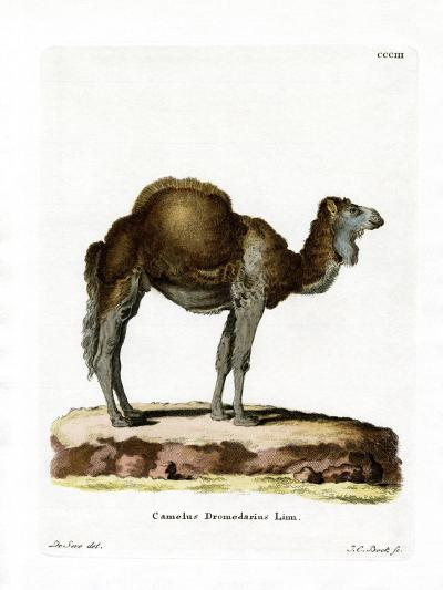 Dromedary--Giclee Print
