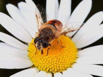 Drone Fly, Earistalis Species, a Honey Bee Mimic, Feeding on Nectar-George Grall-Photographic Print