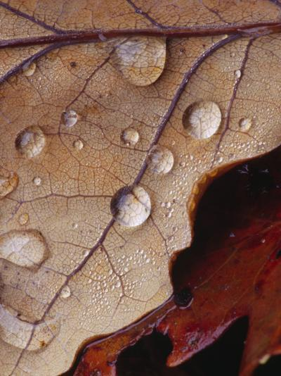 Drops of Rainwater on Autumn Leaves--Photographic Print