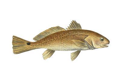Drum (Scianops Ocellata), Fishes-Encyclopaedia Britannica-Art Print