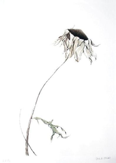 Dry Daisy-Paul Jansen-Collectable Print
