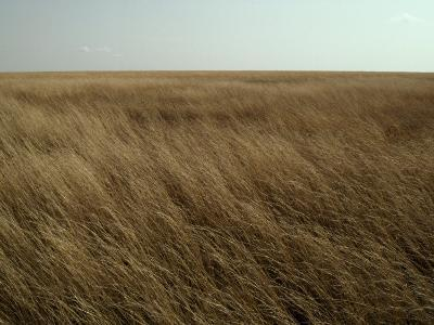 Dry Golden Sea of Grass Waves in the Wind on a Vast Plain-Jason Edwards-Photographic Print