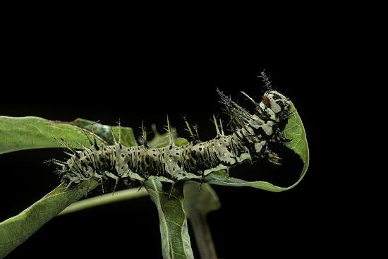 Dryas Julia (Julia Butterfly, the Flame) - Caterpillar Feeding on Passion Flower Leaf-Paul Starosta-Photographic Print
