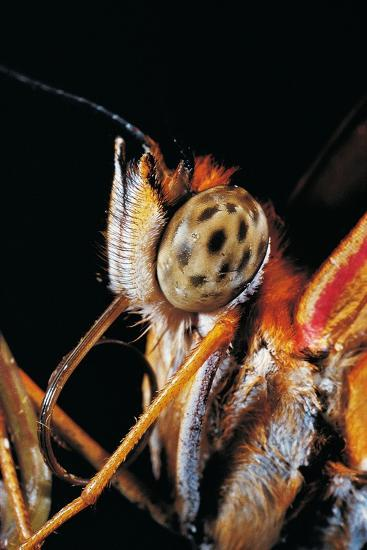 Dryas Julia (Julia Butterfly, the Flame) - Portrait-Paul Starosta-Photographic Print