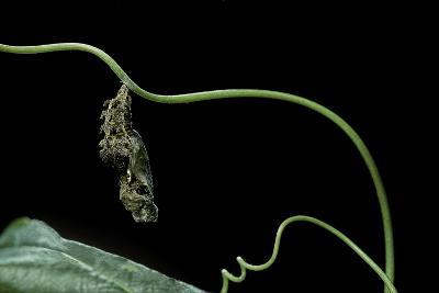 Dryas Julia (Julia Butterfly, the Flame) - Pupa-Paul Starosta-Photographic Print