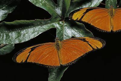 Dryas Julia (Julia Butterfly, the Flame)-Paul Starosta-Photographic Print
