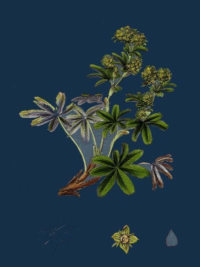 Dryas Octopetala; Mountain Avens--Giclee Print