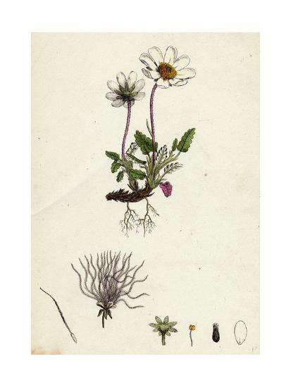 Dryas Octopetala Mountain Avens--Giclee Print
