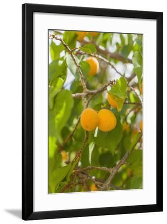 Drying Apricots at Alchi Village-Guido Cozzi-Framed Photographic Print