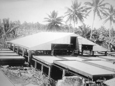 Drying Copra, Solomon Island, Fiji, 1905--Giclee Print