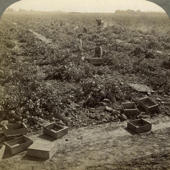 Drying Raisins, Fresno, San Joaquin Valley, California, USA-Underwood & Underwood-Photographic Print