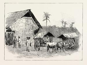 Drying Sheds for Tobacco, Sumatra, Indonesia, 1890