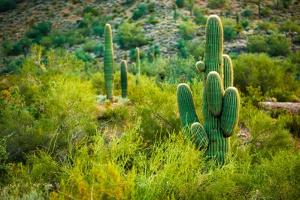 Arizona Desert Cactuses by duallogic