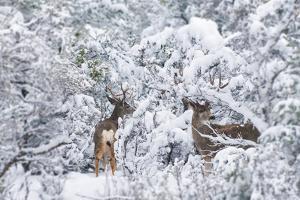 Arizona Mule Deers in Winter by duallogic