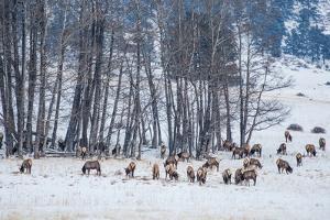Colorado Elk Herd in Winter by duallogic