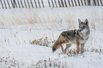 Coyote Winter Hunt by duallogic
