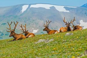 Gang of Elks in Colorado by duallogic