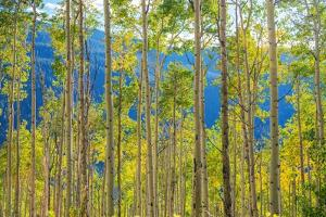 Green Yellow Aspen Trees by duallogic