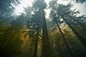 Redwood Forest by duallogic