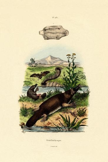 Duck-Billed Platypus, 1833-39--Giclee Print