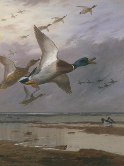 Duck Rising-Archibald Thorburn-Giclee Print