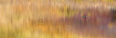 Duck Sitting on Water, Denali National Park, Alaska, USA-Arthur Morris-Photographic Print