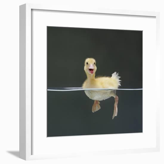 Duckling Swimming on Water Surface, UK-Jane Burton-Framed Photographic Print