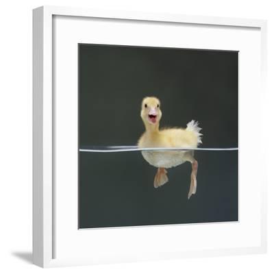 Duckling Swimming on Water Surface, UK-Jane Burton-Framed Photographic Print