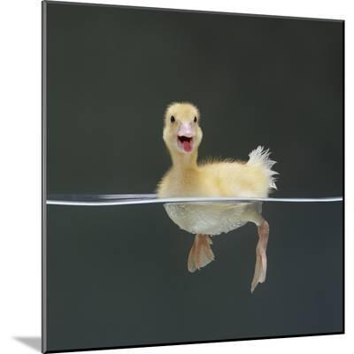 Duckling Swimming on Water Surface, UK-Jane Burton-Mounted Photographic Print