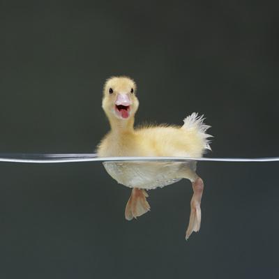https://imgc.artprintimages.com/img/print/duckling-swimming-on-water-surface-uk_u-l-q1g90sp0.jpg?p=0