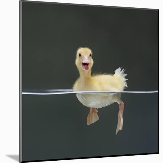 Duckling Swimming on Water Surface, UK-Jane Burton-Mounted Giclee Print