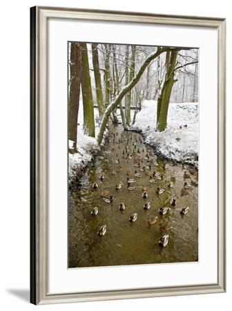 Ducks (Anas Platyrhynchos) on the River in Winter-Tomasz Nieweglowski-Framed Photographic Print