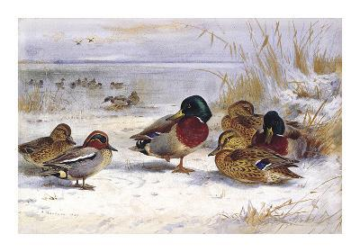 Ducks in Winter-Archibald Thorburn-Premium Giclee Print